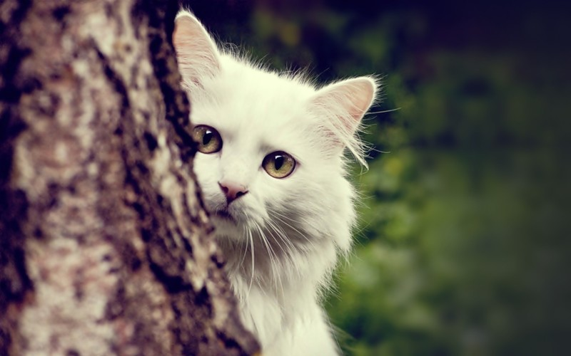01-beautiful-white-cat-imagescar-wallpaper.jpg